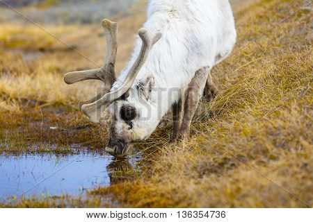 Reindeer drinking water at Svalbard. Summer in the arctic environment near Longyearbyen.