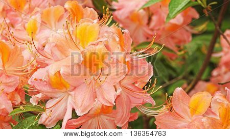 Colored big Rhododendrons Spring 2016 Latvias garden.