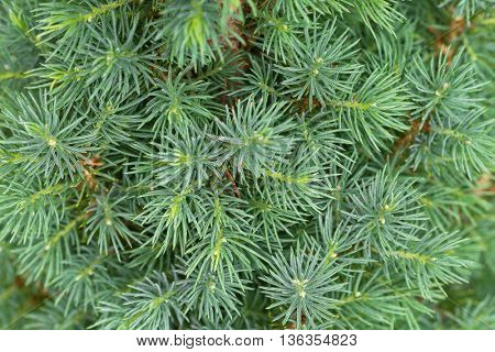 Closeup texture of young Dwarf Pine Tree leaves in green color during summer in Europe
