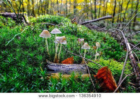 Early autumn scenery with white mushrooms grown inbetween the mosses from a forest in Netherlands
