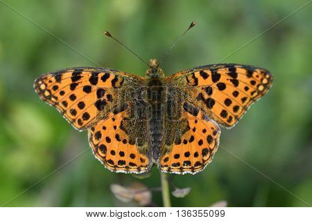 The spotted fritillary or red-band fritillary (Melitaea didyma)  in natural habitat