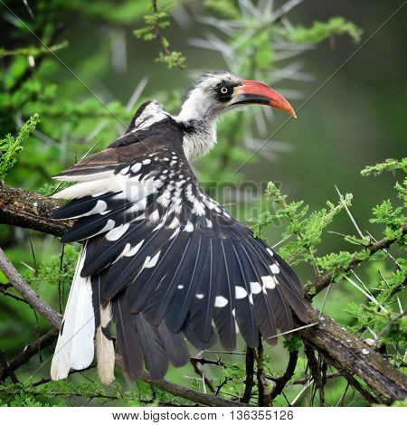 The northern red-billed hornbill (Tockus erythrorhynchus) in natural habitat