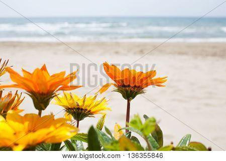 Gazania Flowers Beach Background