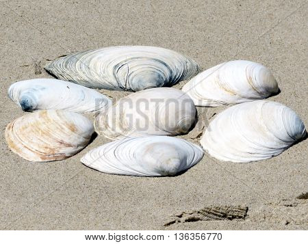 Seashells on the South Bethany Beach in Delaware April 2016 Usa