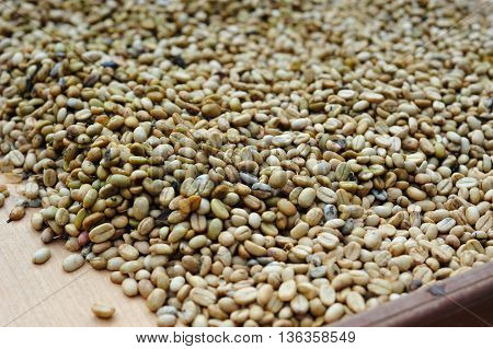 The famous Indonesian fermented luwak coffee beans unprocessed waiting to be roasted