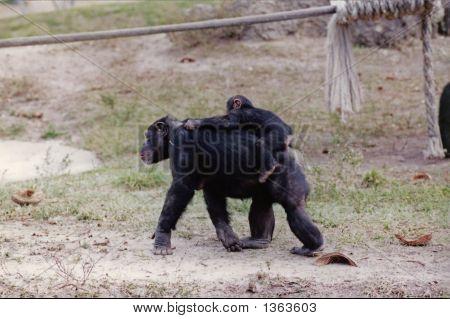 Piggyback  Chimp