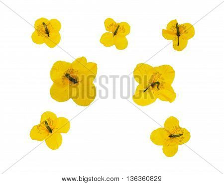 Set of pressed and dried yellow flowers celandine. Isolated on white background. For use in scrapbooking pressed floristry (oshibana) or herbarium.