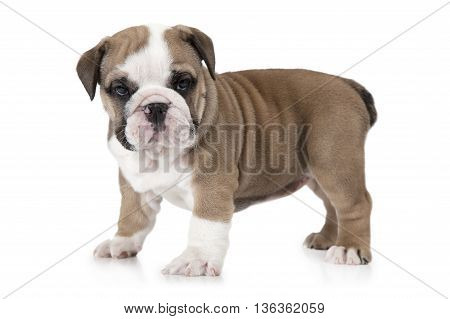 English Bulldog puppy standing in front of white background and looking forward