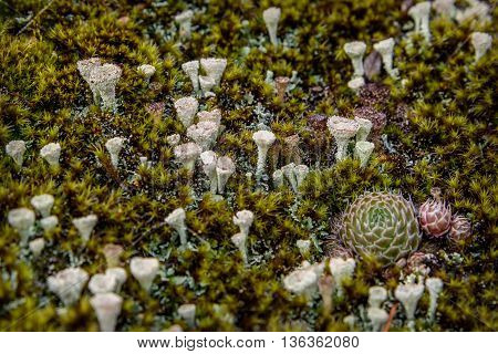 Colorful abstract natural background of green moss seeds and lichen family cladonia closeup on the blurry background