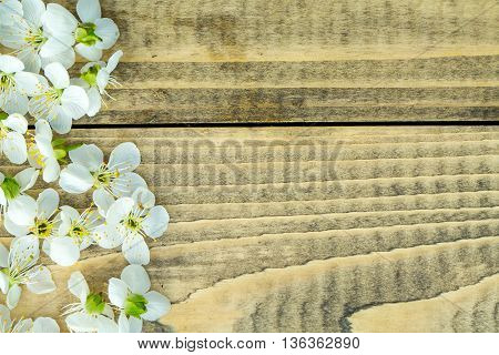 Cherry tree blossoming flowers with soft white petals on brown textured wooden background copy space