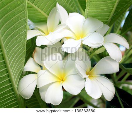 The Glorious frangipani (plumeria) in natural light.