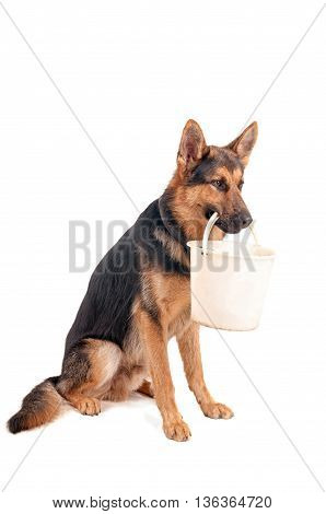 Shepherd with a bucket in his mouth on a white background