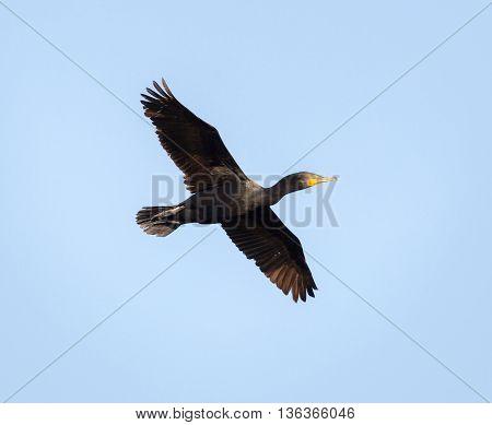 Double-crested Cormorant (Phalacrocorax auritus) in flight; Alviso, CA