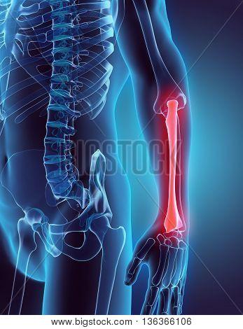 3D Illustration Of Radius, Medical Concept.