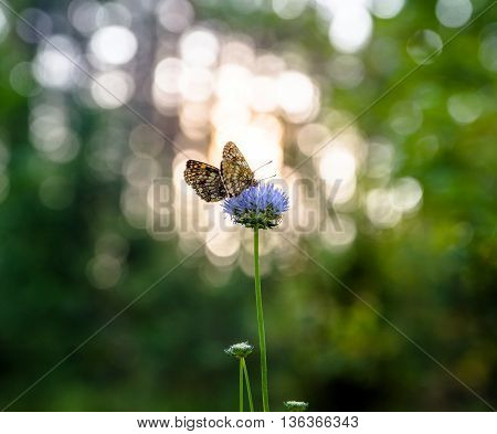 melitaea athalia butterflies on the background of the rising sun