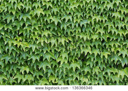 wall overgrown with ivy leaves - leaf background