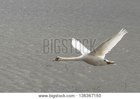 Flying swan on blue lake in sunny day, swans on pond, nature series