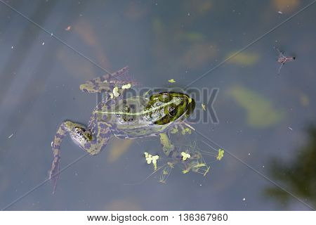 closeup macro view of frog swimming in a pond