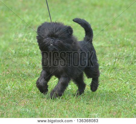 Really cute black affenpinscher dog in a field.