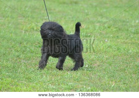 Adorable black affenpinscher puppy dog on a leash looking ready to bark.