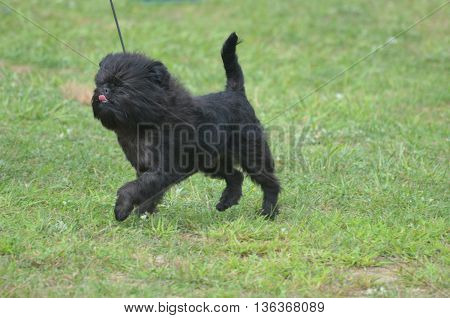 Cute affenpinscher dog with his tongue licking his nose.