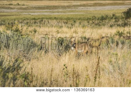 Coyote hiding behind bushes in the grasslands near the Great Salt Lake in Utah
