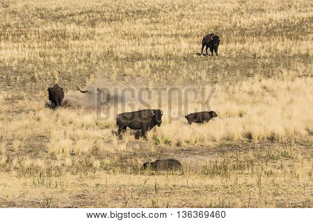 Bison grazing and rolling around in dust and dirt near Great Salt Lake, Utah