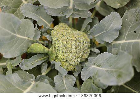 Head Of Farm Fresh Broccolli In A Home Garden