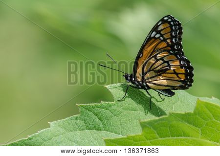 Viceroy Butterfly with an injured wing perched on a leaf.