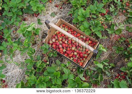 A tray of hand picked strawberries on a farm in Wisconsin.