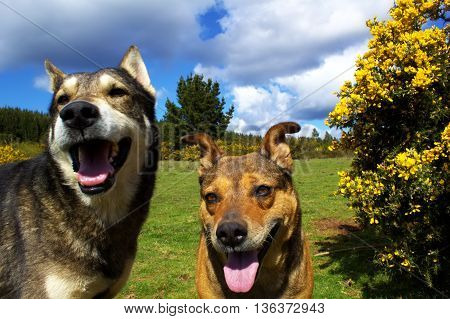 two dogs in the field sky blue and green grass