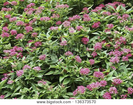 A bed of garden flowers that look like purple buttons.