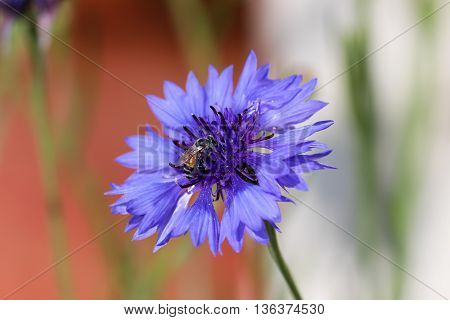 Honeybee Sitting on a Purple Flower in a Garden