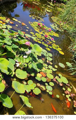 small pond with water lilies and water Lily flowers white and red, bright color swim fish