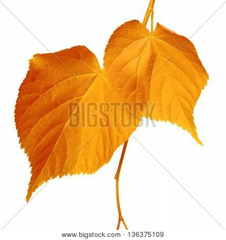 Autumnal leaves isolated on white background .