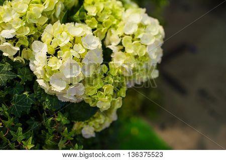 Beautiful white Hydrangea macrophylla in summer garden.