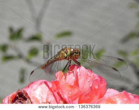 Dragonfly outdoor on wet  flower in the garden