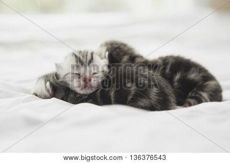 Newborn American Shorthair kittens sleeping on white bed