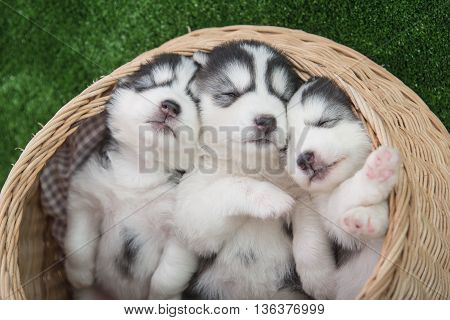 Cute siberian husky puppies sleeping in basket bed