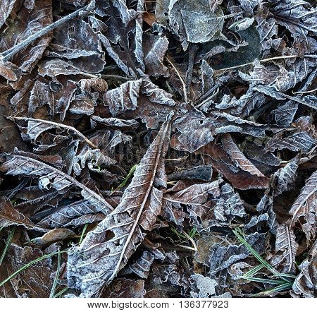Autumn leaves crisped by the frost and creating random patterns