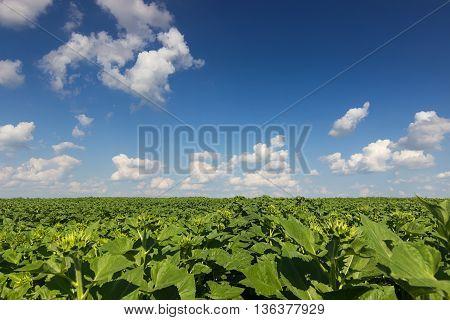 Field of young green sunflower plants, green sunflower