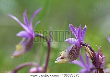 Wild orchids at Emerald Lake Yoho National Park Alberta Canada
