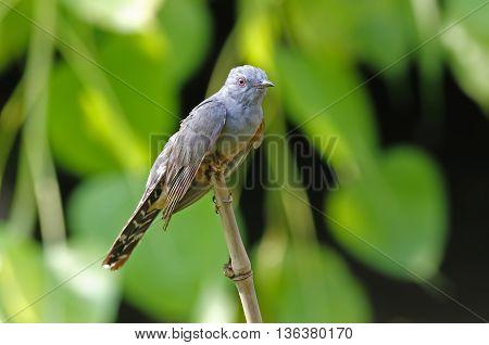 Plaintive Cuckoo Cacomantis merulinus male Birds of Thailand