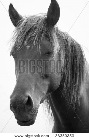 European wild draft horse (Belgian draft or Brabander, brabantian) in black and white.