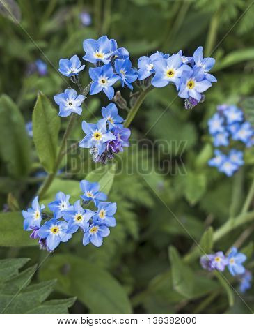 Myosotis or Forget-me-nots add a splash of colour to a UK garden