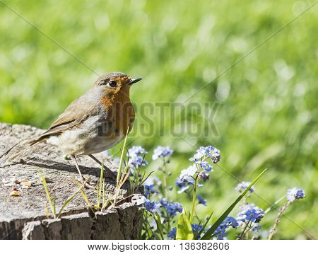 A robin stands on a garden log with summer flowers and defocussed background to accommodate text.