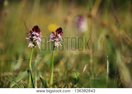 Beautiful Burnt Orchids in a grassland at the swedish island Oland