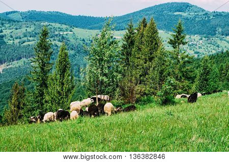 Sheep grazing in the meadow in Carpathian mountains