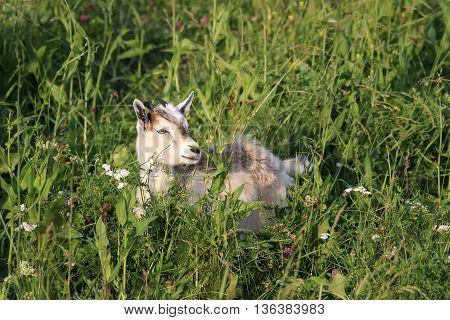 a young white goat lying on a green meadow among the beautiful flowers