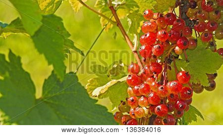 Young red and green currant. Summer, June'2016
